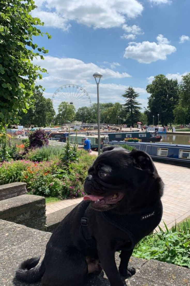 London Uk June 2019 Gorgeous Black Pug In The Summer Time In A Park In England United Kingdom In 2020 Pugs Dogs Bulldog