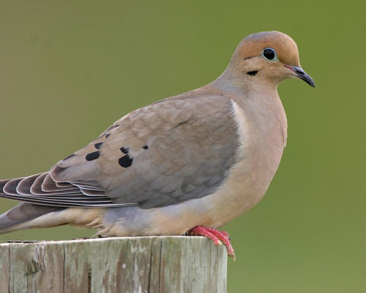 Spring begins this Thursday, and the doves have been singing their courting songs for some time now.