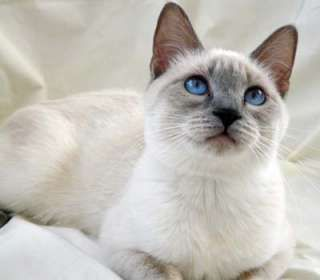 """Lilac point """"applehead"""" siamese cat.  So much softer in shape and coloring than the stereotypical siamese."""