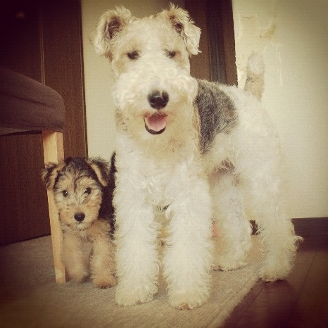 wirefox and lakeland terrier