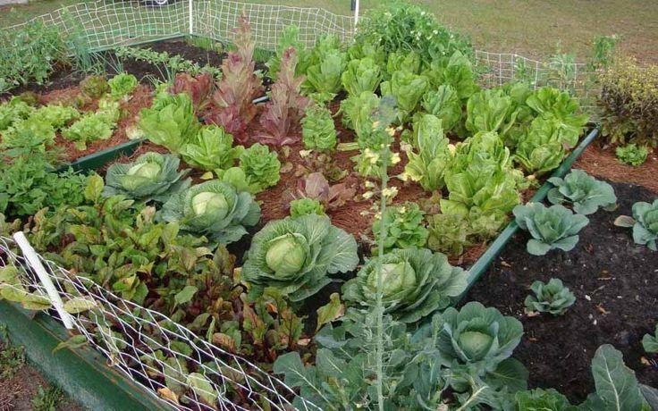 vegetables-gardening-ideas-Tips-Membuat-Kebun-Sayuran-Di-Pekarangan-rumah.jpg 915×572 pixels