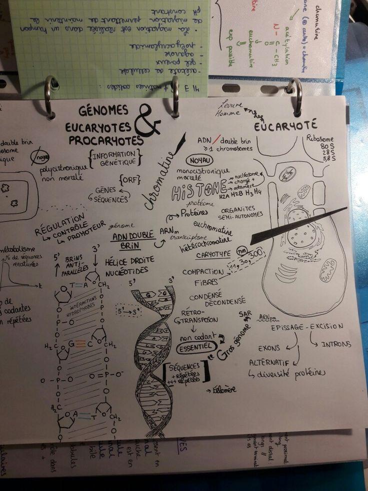 Genome eucaryote et procaryote