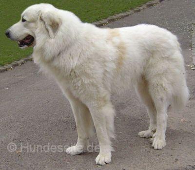 Pyrenäenberghund Foto