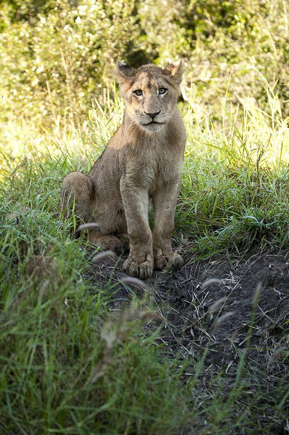 Junge Löwin - © LION SANDS PRIVATE GAME RESERVE | SÜDAFRIKA