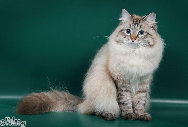 Закари - FleurAmour (ФлёрАмур) - питомник бенгальских и невских маскарадных кошек, бенгальские котята, невские маскарадные котята, бенгалы, ...