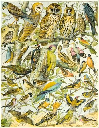 Atlas of Birds - Pics of page from an old book