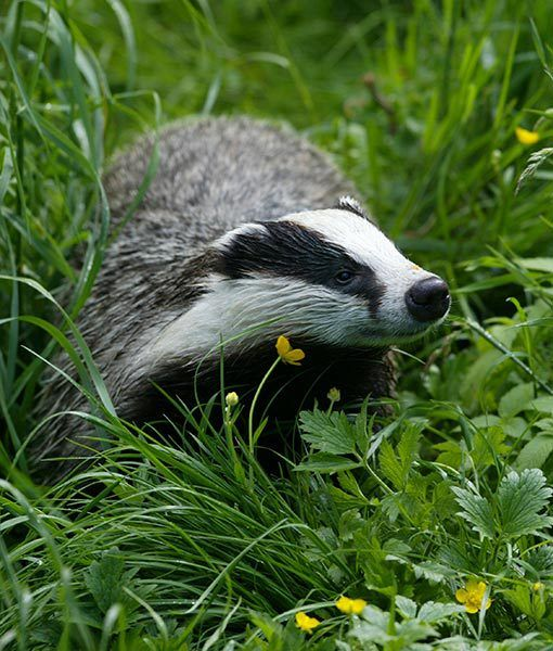 Badger. Finally spotted on the back road near Wike.  :O)  On a stormy night when I thought there would be no animals out and about he was by the road in the undergrowth early Feb 2014.