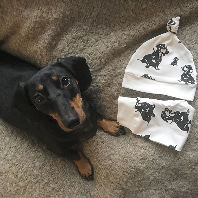 """Bona makes a good """"prop"""" (when there's a treat behind the camera ☺️). Dachshund print organic baby clothes are inspired by Cosmos' cousin Bona, they are available in our Etsy shop, link in bio.    #monofaces"""