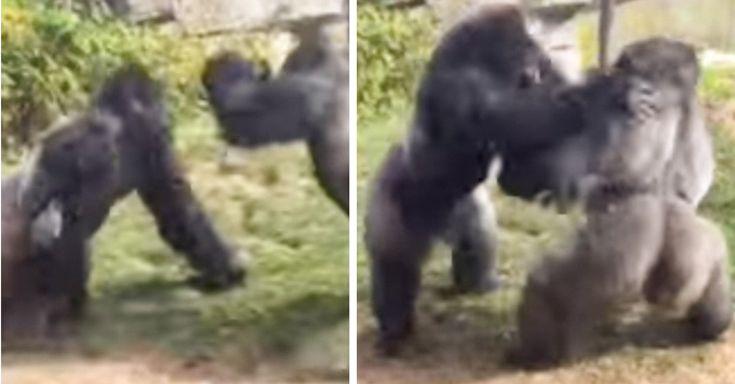 Una asistente al zoológico de Omaha grabó en video el momento en que un par de gorilas se trenzan en una batalla que recuerda a los boxeadores de peso pesado
