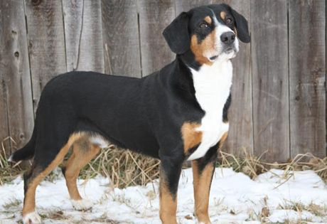 Entlebucher Mountain Dog. They are members of the herding group. They are great herders and drovers. They stand at 16-21 inches at the shoulder and weigh about 45-65 pounds.