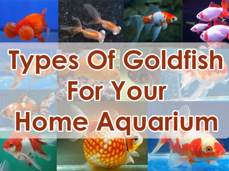 Most Common Types Of Goldfish For Your Home Aquarium