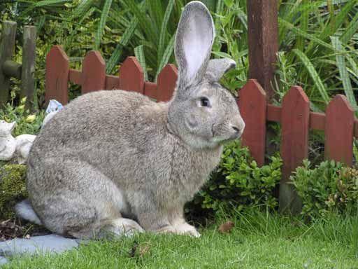 F Giant Rabbit British Giant Rabbit