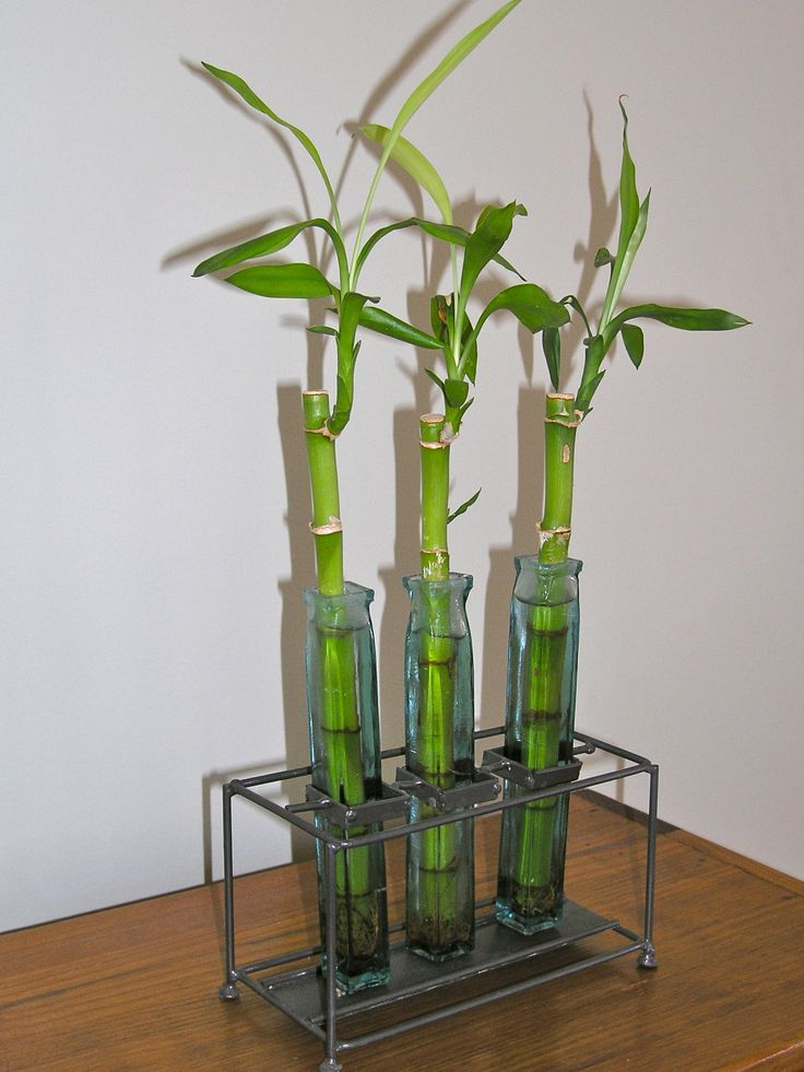 28 best ideas about lucky bamboo on pinterest plants. Black Bedroom Furniture Sets. Home Design Ideas