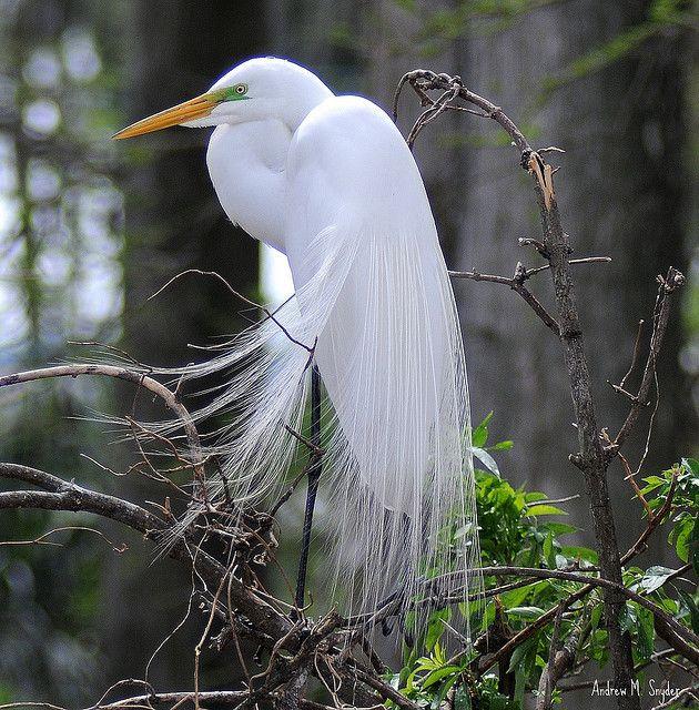 39 best Birds - White Egret images on Pinterest ...