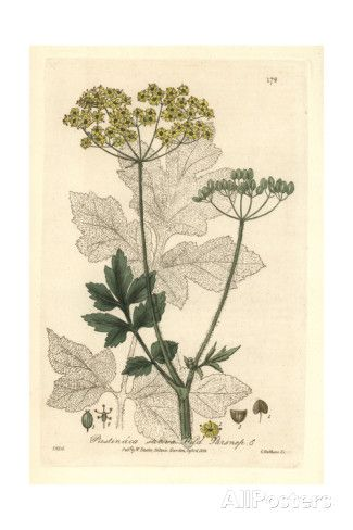 Wild Parsnip, Pastinaca Sativa, From William Baxter's British Phaenogamous Botany, 1835 Giclee Print by Isaac Russell at AllPosters.com