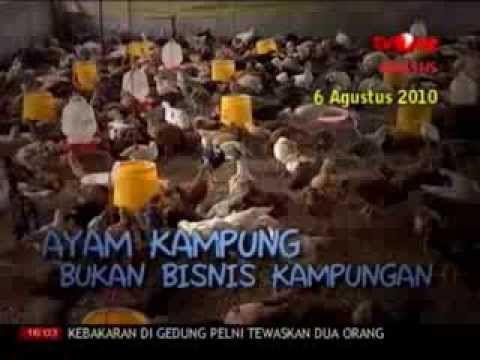 Beternak Ayam Kampung Bisnis Usaha Menjanjikan