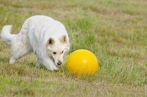 Beyond Obedience and Agility: 5 Unusual Dog-Powered Sports   Dog Whisperer Cesar Millan