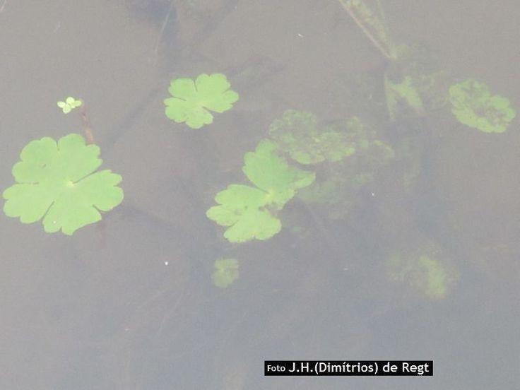hydrocotyle ranunculoides • grote waternavel - ARALIACEAE