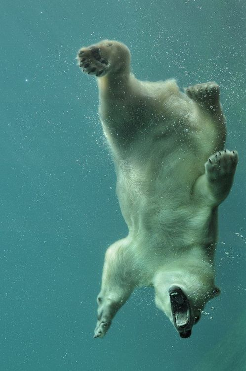 Polar bear.  This looks funny until you realize they probably photoshopped out the penguin he was trying to snack on...