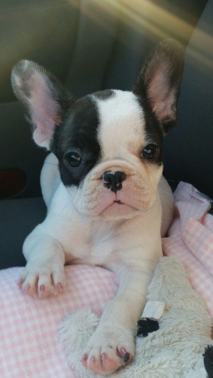 Lola, the French Bulldog Puppy❤️