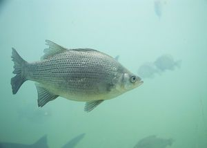 The White Bass is the state fish of Oklahoma.