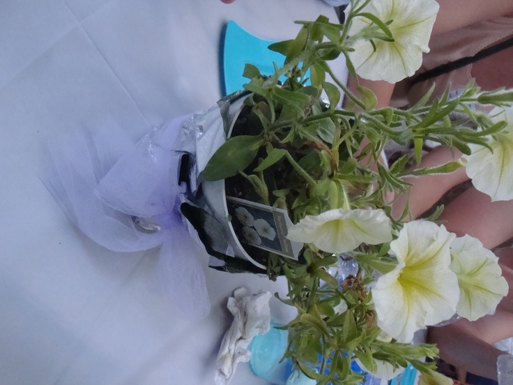 We made these cute centerpieces for my brother's rehearsal dinner.  Ingredients:  1 live plant in a plastic pot, 1 piece of glittery plastic paper, and 1 large piece of ribbon!