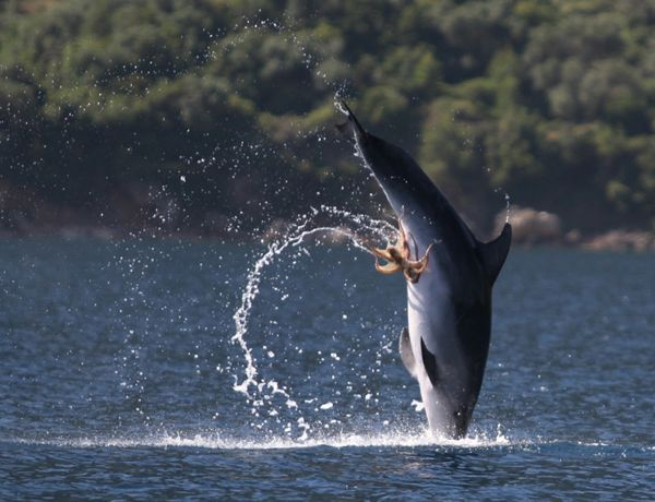 Naughty octopus forms coalition with dolphin