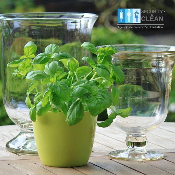 #Tip #Hogar  El aroma de la planta de albahaca ayuda a aliviar la fatiga intelectual, colocarla en una mesa o escritorio es una buena opción.