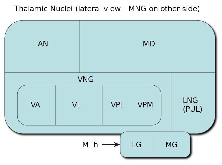 The ventral anterior nucleus (VA) is a nucleus of the thalamus. It acts with the anterior part of the ventral lateral nucleus to modify signals from the basal ganglia.The ventral anterior nucleus receives neuronal inputs from the basal ganglia. Its main afferent fibres are from the globus pallidus. The efferent fibres from this nucleus pass into the premotor cortex for initiation and planning of movement.