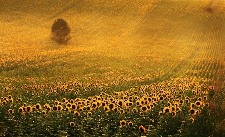 sunflowers by Sorin Onisor