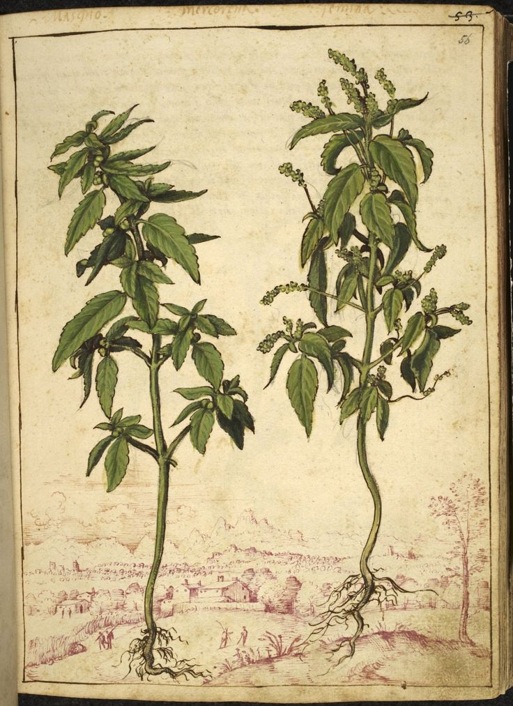A full page botanical painting of two samples of Mercurialis annua or 'Mercorella basillico' (Annual mercury) with a landscape sketched in pink ink in the background.  From Dioscorides' 'De re medica', by Pietro Andrea Mattioli, Physician of Siena, assembled and illustrated by Gherardo Cibo—ca. 1564-1584.
