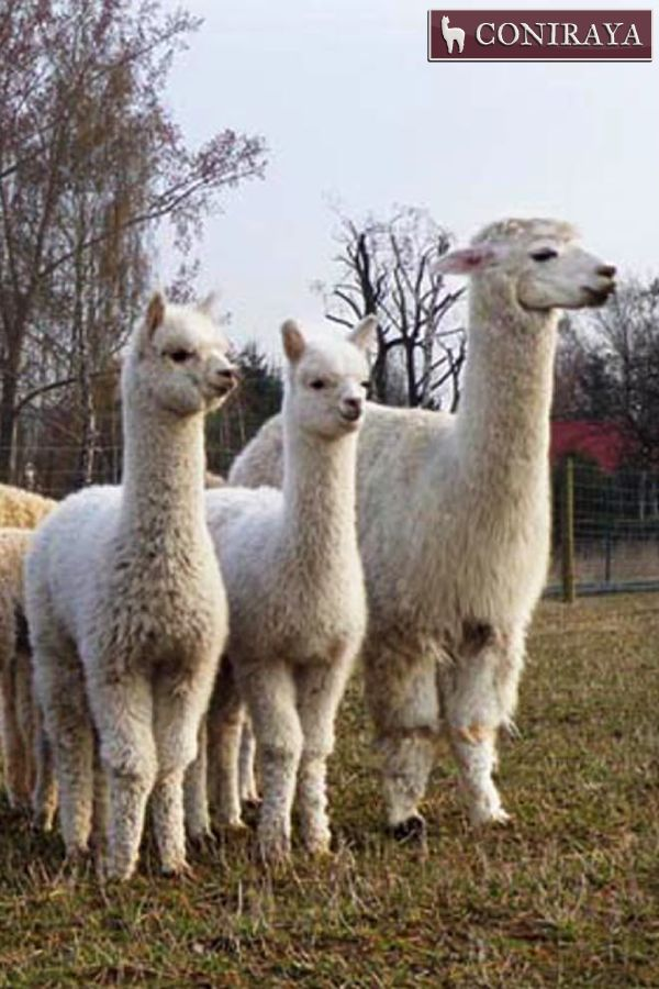 """""""Have You seen spring?? We're waiting... xD"""" alpacas"""