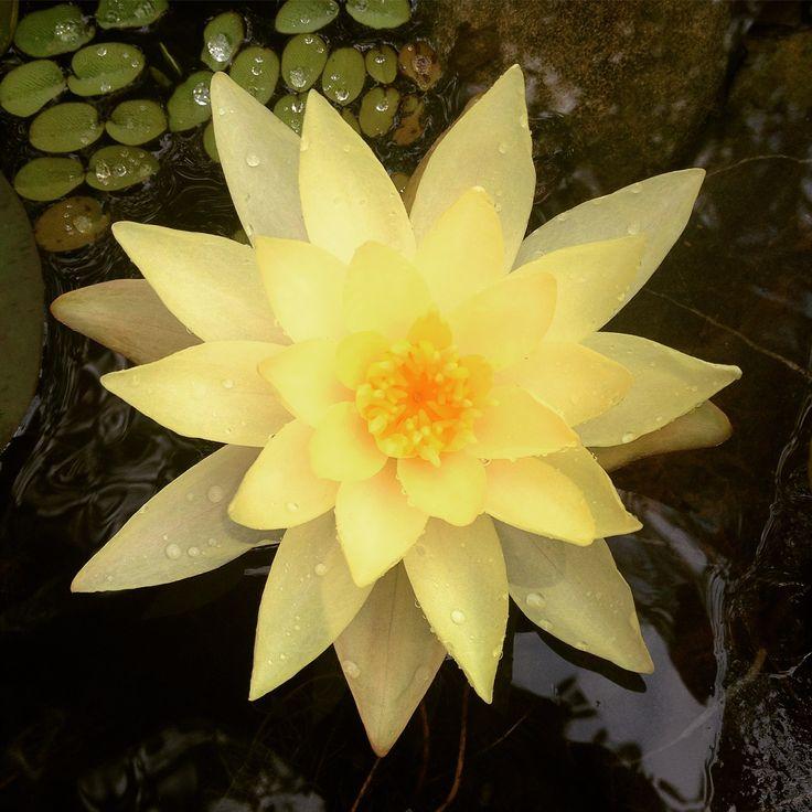 "Seerose nimphaea ""Marliacea chromatella"" #ninfea #yellow #minipond #ninfee #giardinoacquatico #picoftheday #bellissima #estate2016 #puglia #noci #summer #fengshui #fotografia #follower #garden #watergarden #zen #scelteperte #onesocialgarden"