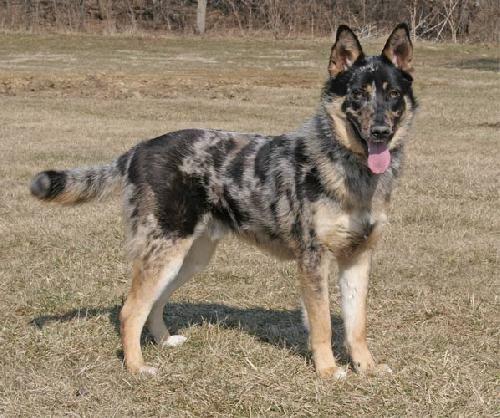 Australian Shepherd/German Shepherd mix