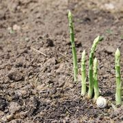 When to Plant Asparagus Seeds | eHow