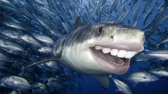 Great white shark pictures to print