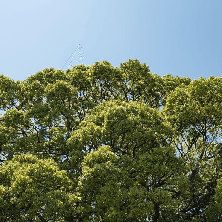 Ho Wood (Cinnamomum camphora ct linalol)