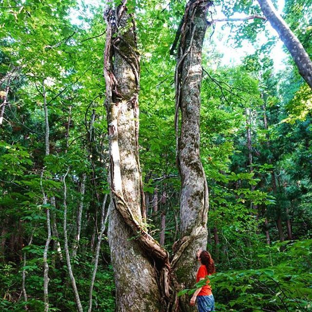 【daniela773】さんのInstagramをピンしています。 《🍃🏃🍃 2016.9.4 . . . #Worldheritage #Shirakamisanchi #Aomori #Japan #ANMON #Hiking #Beech #LargeTree #世界遺産 #白神山地 #西目屋村 #やまびこ #新函館北斗駅 #新青森駅 #アクアグリーンビレッジ #ブナ #ブナの森 #ハイキング #森 #散歩 #大木 #大きな木 #弘前 #十二湖 #鶏頭場の池 #青池 #沸壺の池 #旅行 #国内旅行 #一生夏休み》