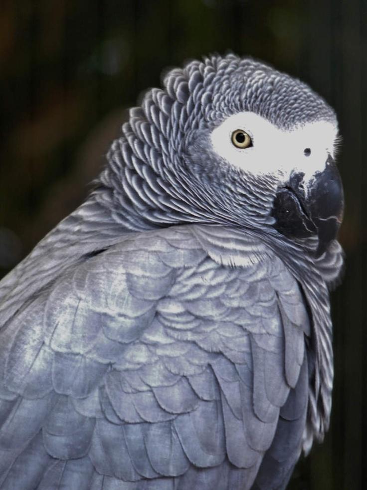 http://faaxaal.forumgratuit.ca/t805-photos-d-oiseaux-perroquet-jaco-gris-du-gabon-psittacus-erithacus-grey-parrot#1057