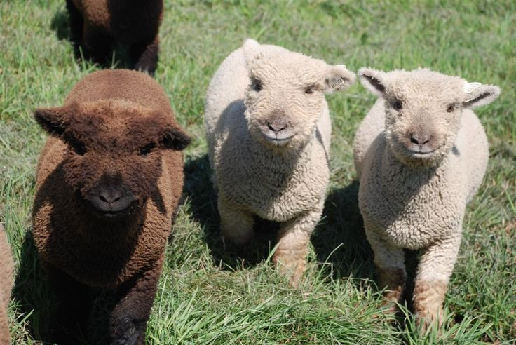 Babydoll Southdown sheep (picture only) | Animals ...