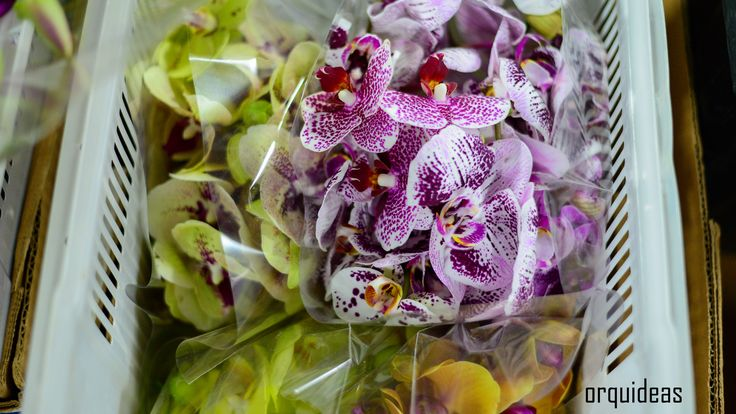 flores orquideas phalaenopsis follaje Flores, Flores