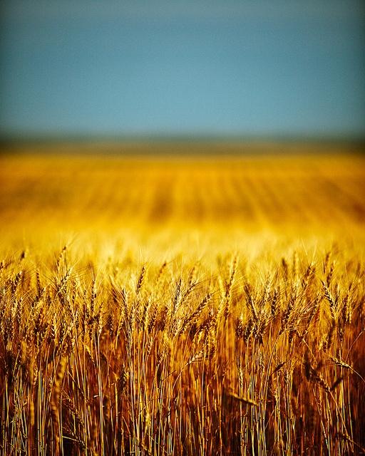 Blue+yellow of Ukraine. Blue skies over golden fields.