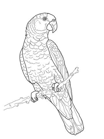 Imperial Amazon Parrot Coloring Page