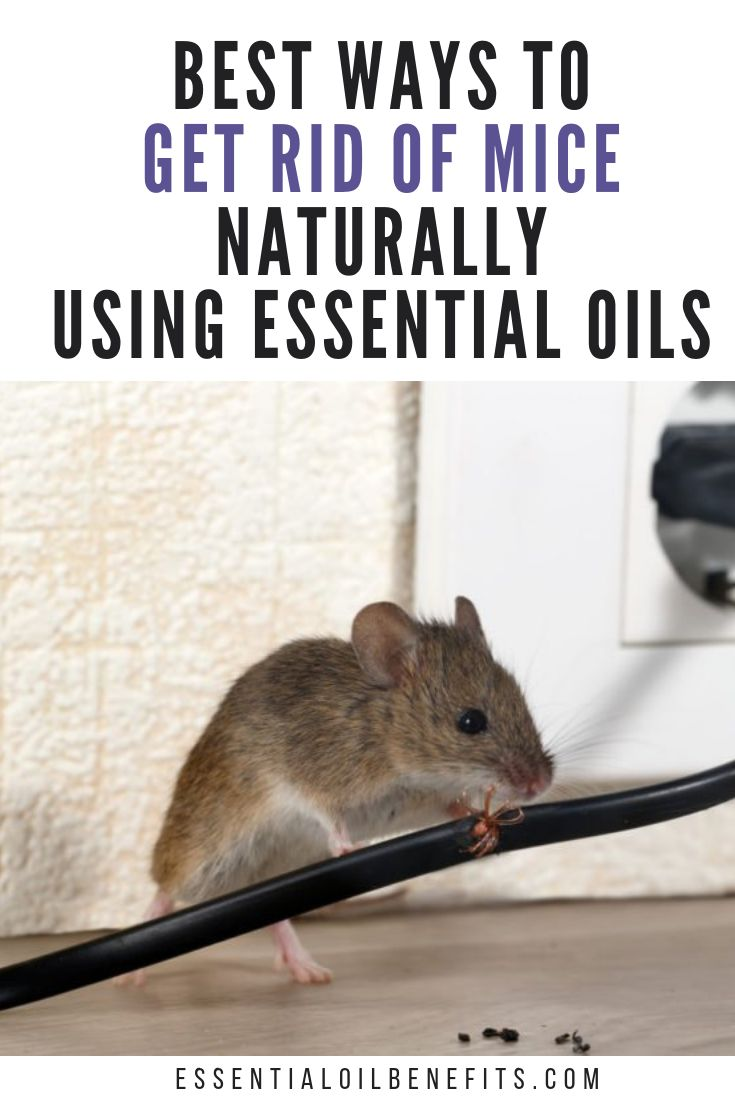 Best Ways To Get Rid Of Mice Naturally Using Essential
