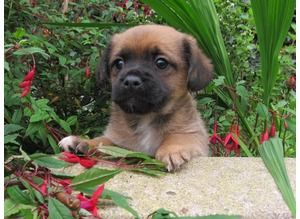 Jug Puppies for sale ( Jack Russell x Pug )