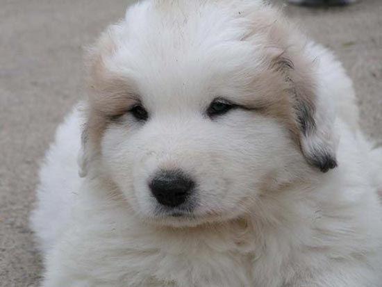 PASTOR DE LOS PIRINEOS: Perros Pastor, Dogs, Adorable Pics, Races, Raza Pastor, Adorables Perritos, Dogs Life