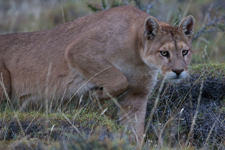 Pumas, Wildlife & Scenery in Torres del Paine & Patagonia, Chile | Scott R. Anagnoste Photographs - Copyright ©
