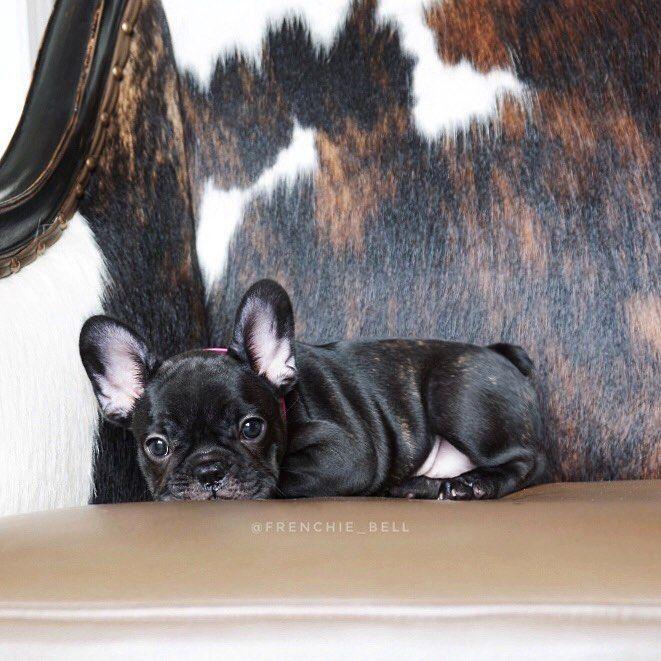 Rue, the French Bulldog Puppy