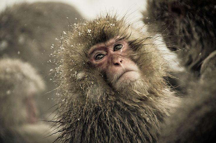 Jigokudani Monkey Park Japan by ron gessel  (15)
