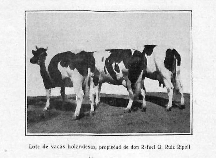 """""""Lote de vacas holandesas, propiedad de don Rafael G. Ruiz Ripoll"""". Lámina perteneciente a Memoria del concurso provincial de ganados, aves de corral e industrias derivadas y complementarias de la ganadería : celebrado en Córdoba en 1932. Disponible en http://helvia.uco.es/xmlui/handle/10396/6586"""